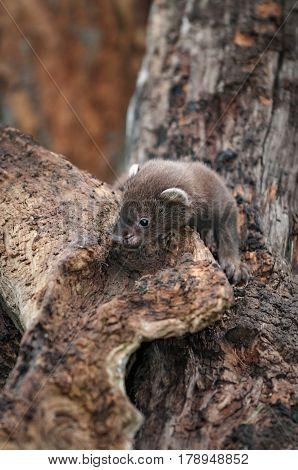 Fisher (Martes pennanti) Kit in Wood - captive animal