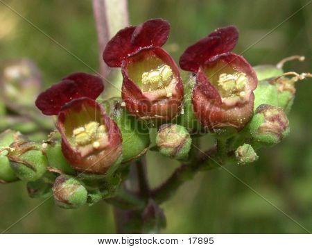 Figwort Flowers