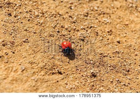 Spotless ladybug on yellow ground in Sri Lanka