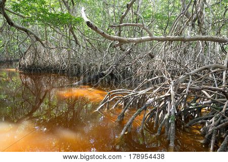 Mangrove forest by the Ria Celestun lake in Mexico