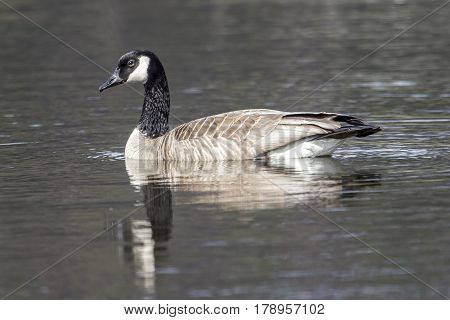 Side view of swimming goose shows its reflection while swimming in Hauser Lake Idaho.