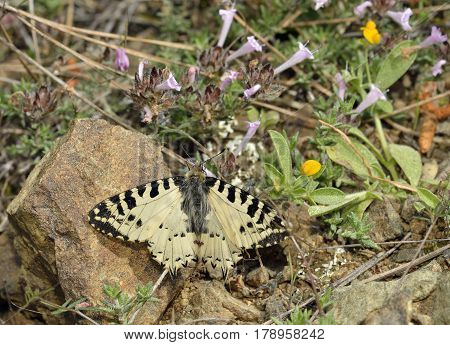Eastern Festoon Butterfly