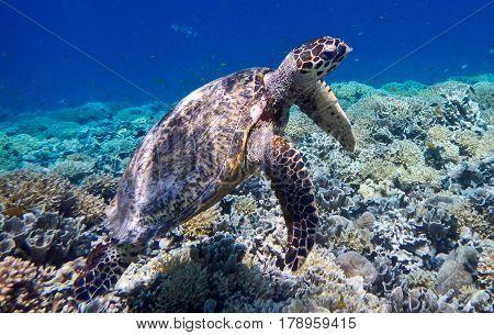 Marine turtle swimming on Gili Meno Island Indonesia