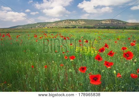 Beautiful Landscape with flowers. Field with red poppies.