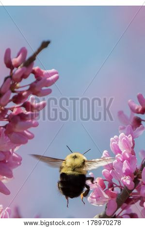 A bumblebee in flight toward a blooming Redbud tree on a spring day