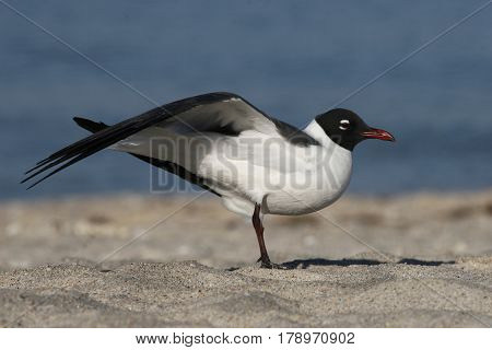 A Laughing Gull, Leucophaeus atricilla stretches a wing on a beach in Florida