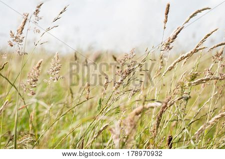A variety of tall wild grasses in the countryside blowing and bending in the breeze with light grey sky for copy space.