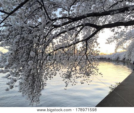Peak bloom of the Cherry Blossom trees in Washington, D.C. during the busiest tourist season of the year.