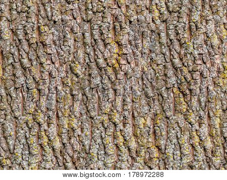 Seamless old oak tree bark texture with moss.