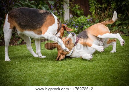 two beagles play fighting with each other