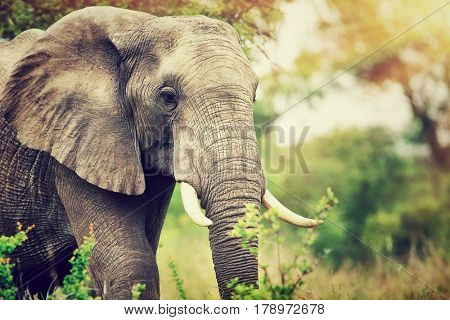 Portrait of a big beautiful elephant outdoors, wild animal, safari game drive, Eco travel and tourism, Kruger national park, South Africa