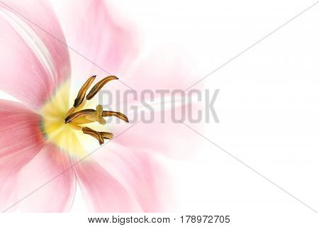 Beautiful pink lily flower isolated on white background, photo with text space for mother's day, nice floral border