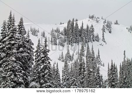 Snow Covered Hill with Snow Laden Evergreen Trees poster