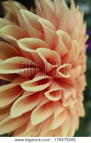Sideview of a yellow-orange Dahlia - Beauty of Petals