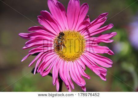 Астра, Природа,  Розовый, Свежесть, Лепестки, Солнечный свет, Соцветие, пыльца, насекомое