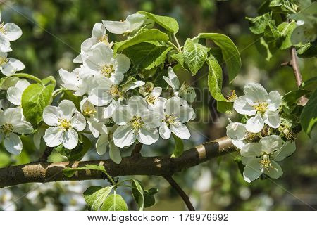 White flowers of an apple tree during a spring flowering