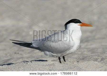 A Royal Tern, Thalasseus maximus in breeding plumage on a beach in Florida in the spring