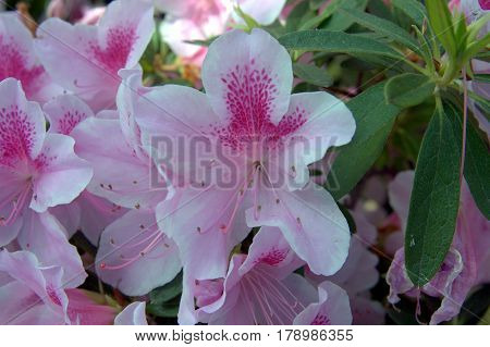 Azaleas flowers white and pink beautiful lovely in the spring