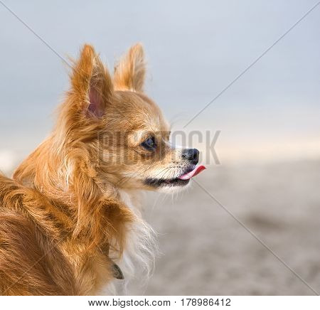 red chihuahua profile portrait on  natural background