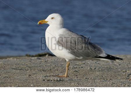 A Herring Gull, Larus argentatus on a sandbar in Florida