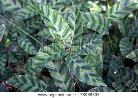Slender Zebra Plant Emerald Feather Calathea louisae green and light green leaves