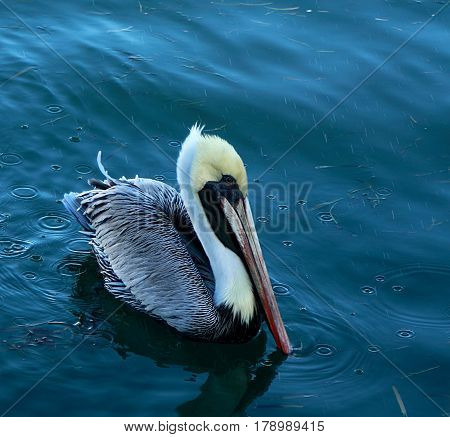 Pelican. The Image was taken in Florida, Everglades National Park.
