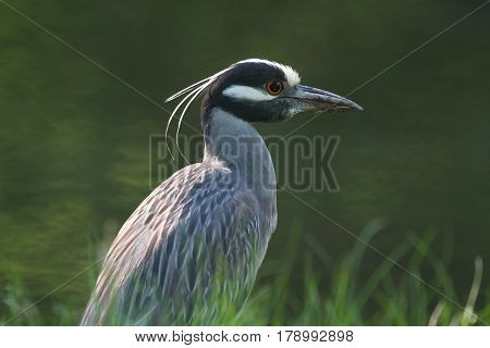 Yellow-crowned Night-Heron (Nyctanassa violacea) hunting in a swamp