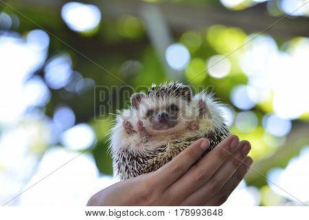 Young hedgehog on vintage log . Hedgehog for your  background .