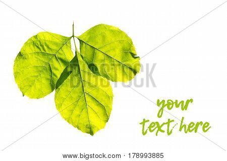 close up of green fresh leaf isolated on white background