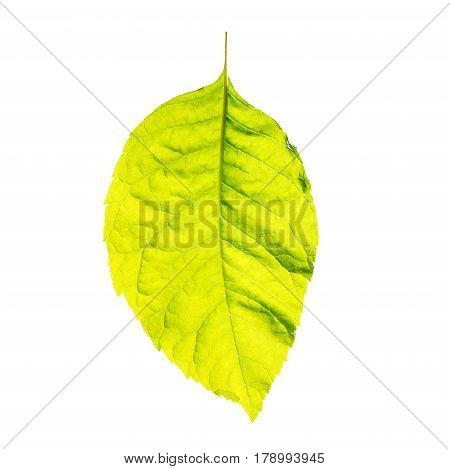 green fresh leaf isolated on white background