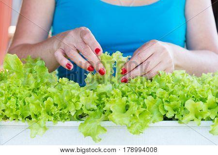 woman hands picking green lettuce in garden