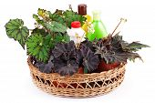 Beautiful begonias and chemical fertilizers pesticides and insecticides in a basket isolated on white background .Hybrid begonia Tiger Paws Eyelashes or begonias with green leaf pattern and Dark Mambo. poster