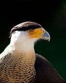 Crested Caracara living in captivity at a zoo poster