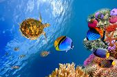 Underwater landscape with couple of Butterflyfishes and turtle poster