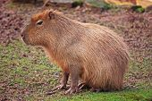 Capybara rodent sitting in a muddy field poster