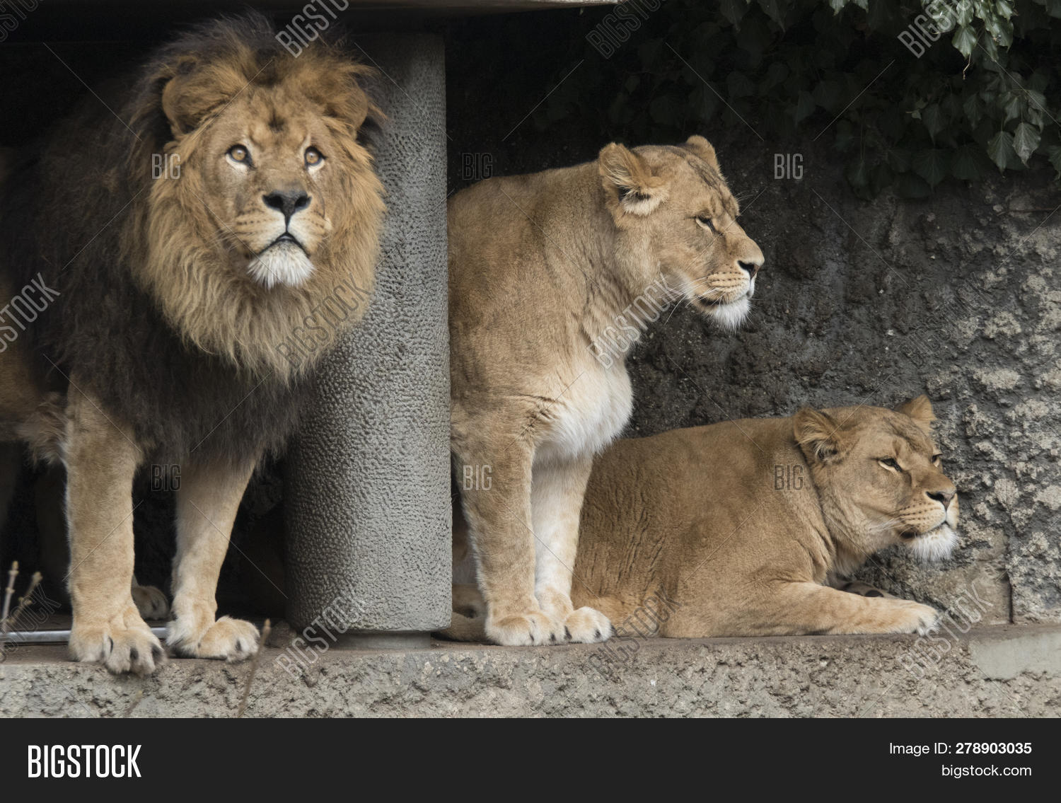 Male Lion Two Female Image & Photo (Free Trial) | Bigstock