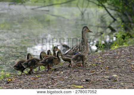 A Wild Mother Duck Waddles Alongside A Pond With A Clutch Of Fuzzy Ducklings Following Her