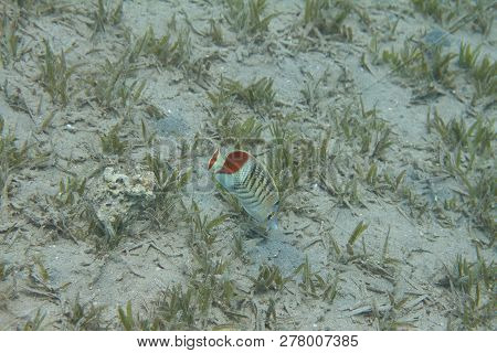 Crown Butterflyfish Over Seagrass In Red Sea Off Dahab, Egypt