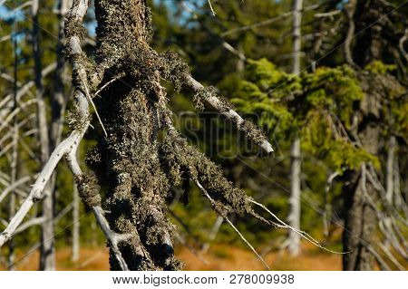 Lichen Covered Dry Dead Tree Trunk In Forrest