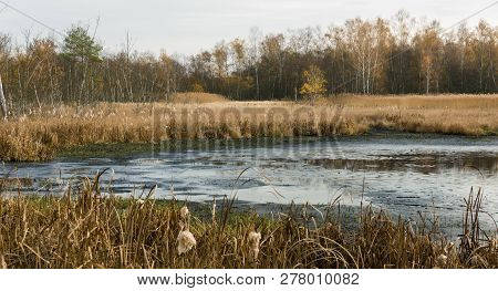 Muddy Pond Surrounded By Dry Grass And Birch Trees And Reed