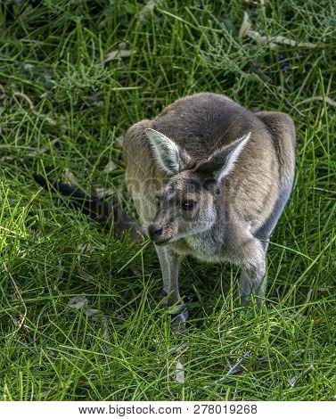 Western Grey Kangaroo (macropus Fuliginosus Melanops), Also Known As The Black-faced Kangaroo
