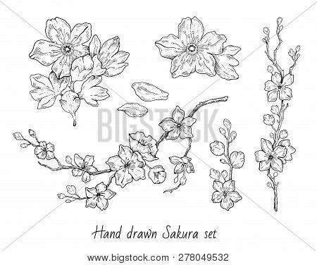 Sakura Flowers Blossom Set, Hand Drawn Line Ink Style. Cure Doodle Cherry Plant Vector Illustration,