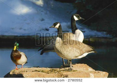 Geese On Alert
