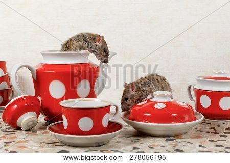 Close-up Two Rats (rattus Norvegicus) And  Red Tea Set On Countertop At Kitchen In An Apartment Hous