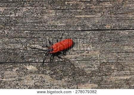 Big Red Beetle Sitting On A Gray Wooden Board