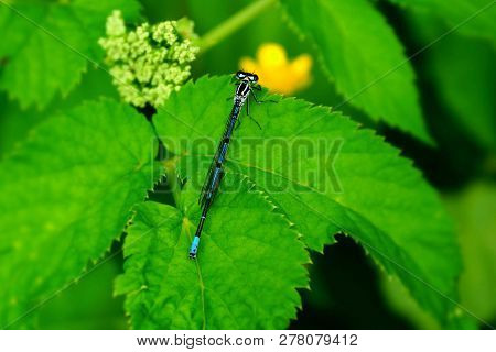 A Small Blue Dragonfly Sits On The Green Leaves Of The Plant