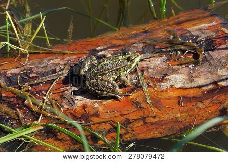 A Large Green Frog Sits On A Wooden Brown Wet Board In The Water Of A Reservoir