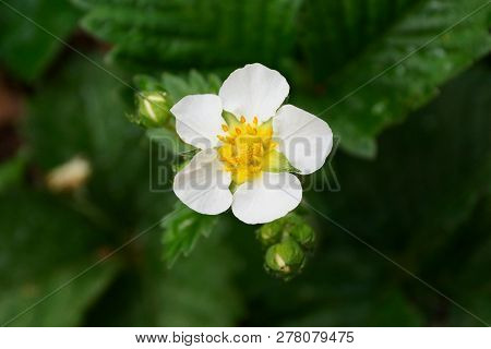 Small White Strawberry Flower On A Green Bush
