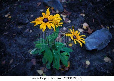 Big Yellow Flowers On Green Stalks Of A Bush On Gray Ground