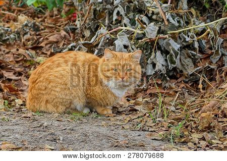 Red Cat Sitting In The Dry Grass In The Street
